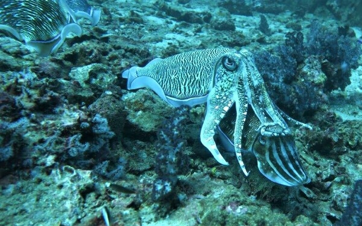 Chromatic analysis of behaviour and neural substrate of pain perception in cuttlefish